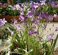 Bellflowers - Glockenblumen.png