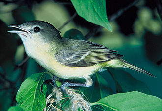 California State Route 52 - A Bell's vireo, of which the least Bell's vireo is a subspecies