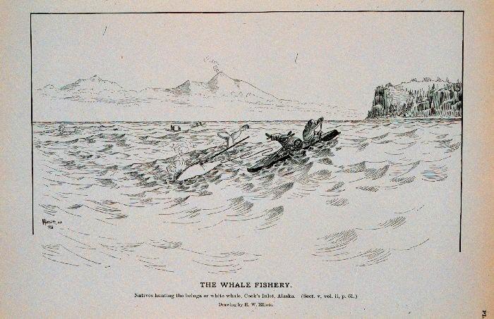Beluga caza