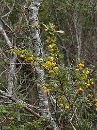 Berberis montana 1.jpg