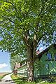 Bergahorn in Schlag (Litschau) 2014-05 01 NÖ-Naturdenkmal GD-068.jpg