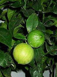 Bergamottepflanze.jpg