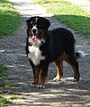 Bernese Mountain Dog Female.jpg