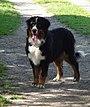 Bernese Mountain Dog Female.jpg