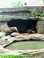 Beruang Grizzly.jpg