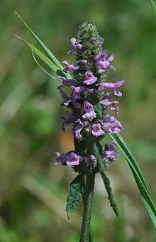 Betonica officinalis flowers.jpg