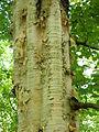 Betula ermanii ÖBG 09-07-16 02.jpg