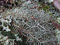Biatoropsis usnearum Räsänen 407230.jpg