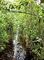 Bicalcarata-habitat(peatswamp).jpg