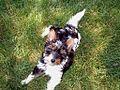 Biewer Terrier.jpg