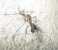 Big Mosquito@Madhyamgram,India.jpg