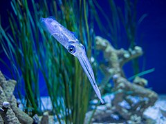 Bigfin reef squid (11760).jpg