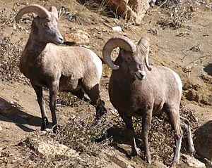 Mammals of Rocky Mountain National Park - A pair of bighorn sheep