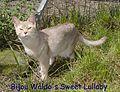 Bijou Waldo's Sweet Lullaby abyssin silver faon.JPG