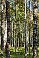 Birches in a pasture in Gullmarsskogen 2.jpg