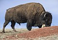 Bison and Prairie Dog in Wind Cave National Park.jpg