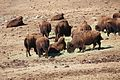 Bison herd at Genesee Park-2012 03 10 0603.jpg