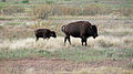 Bison with calf (9736396882).jpg