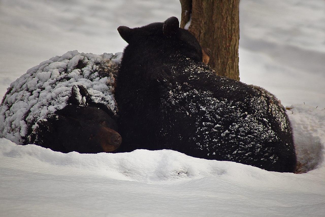 file black bears winter snow sleeping west virginia. Black Bedroom Furniture Sets. Home Design Ideas