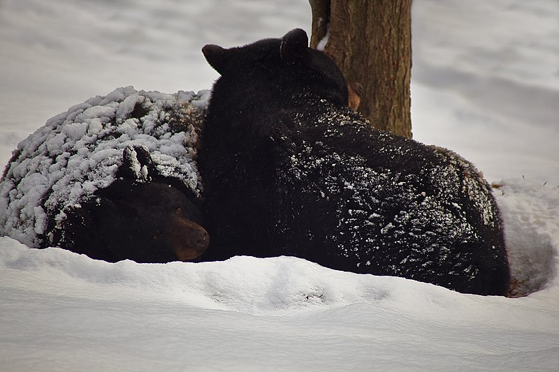 file black bears winter snow sleeping west virginia