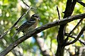 Black-headed Grosbeak Huachuca Canyon Sierra Vista AZ 2018-09-09 08-19-19 (44765280805).jpg