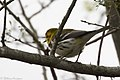 Black-throated Green Warbler ( ?? first winter male ) Mission TX 2018-03-01 08-19-44-2 (25753129057).jpg