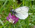 Black-veined White. Aporia crataegi. Female (15968485788).jpg