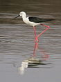 Black-winged Stilt, Common Stilt, or Pied Stilt, Himantopus himantopus at Borakalalo National Park, South Africa (9900170545).jpg