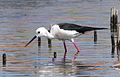 Black-winged Stilt, Common Stilt, or Pied Stilt, Himantopus himantopus at Marievale Nature Reserve, Gauteng, South Africa (23472484226).jpg