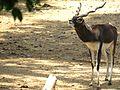 Black Buck at mysore zoo, India.jpg
