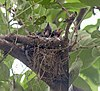 Black Drongo chicks I IMG 4413