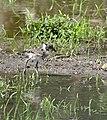 Black Lapwing (Vanellus armatus) chick (32741001864).jpg