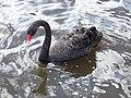 Black Swan (2009).jpg