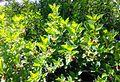 Black Twinberry - Flickr - brewbooks (1).jpg