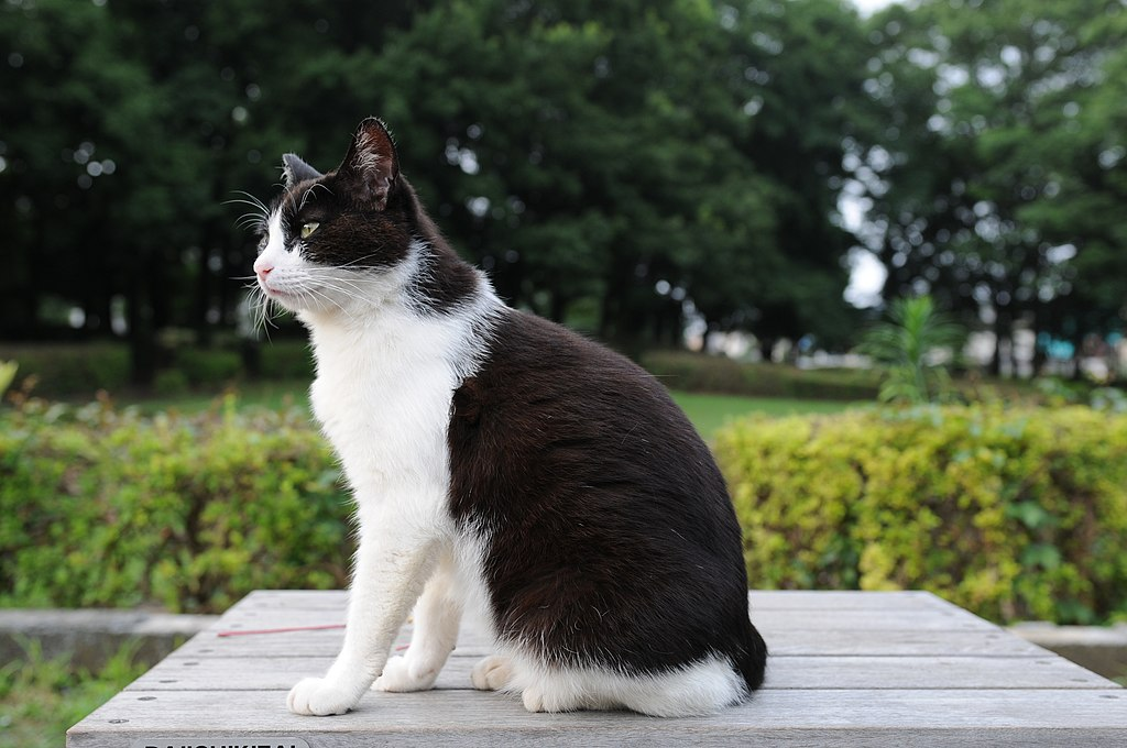 File:Black and white cat in a park-Hisashi-01.jpg - Wikimedia Commons
