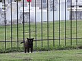 Black cat at cemetery fence, New Orleans.jpg