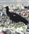 Black or Red-naped Ibis Pseudibis papillosa by Dr. Raju Kasambe DSCN7350 (3).jpg