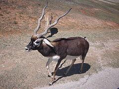 https://upload.wikimedia.org/wikipedia/commons/thumb/f/f2/Blackbuck_antelope_in_Texas.jpg/240px-Blackbuck_antelope_in_Texas.jpg