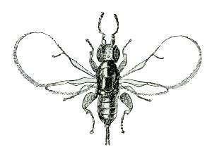 Fig wasp - Blastophaga psenes female