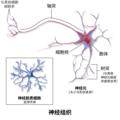 Blausen 0672 NeuralTissue zh.png