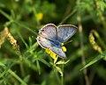 Blaveta de la ginesta - Lampides boeticus - mariposa - blue butterfly (250086935).jpg