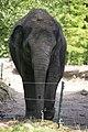 Blijdorp - Elephas maximus v1.jpg