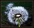 Blowball - Flickr - Stiller Beobachter (1).jpg