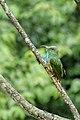 Blue-bearded Bee-eater मधुमक्षी भक्षका.jpg