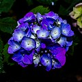 Blue Hydrangea (common names hydrangea or hortensia).jpg
