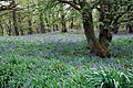 Bluebells - geograph.org.uk - 415794.jpg