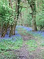 Bluebells in Furzehill Brake - geograph.org.uk - 414413.jpg
