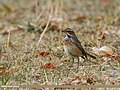 Bluethroat (Luscinia svecica) (32827060386).jpg