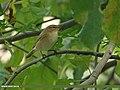 Blunt-winged Warbler (Acrocephalus concinens) (15399949664).jpg