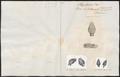 Boa hortulana - 1700-1880 - Print - Iconographia Zoologica - Special Collections University of Amsterdam - UBA01 IZ11900068.tif